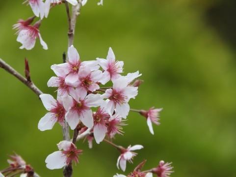 桜07.jpg